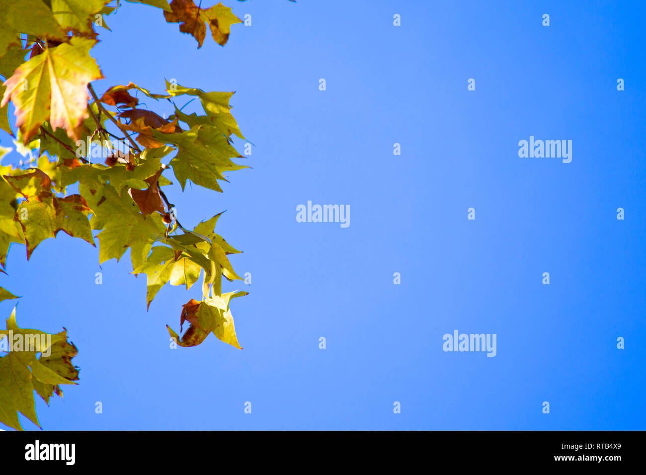 Autumn maple tree branches leaves on blue sky background. - Stock Image