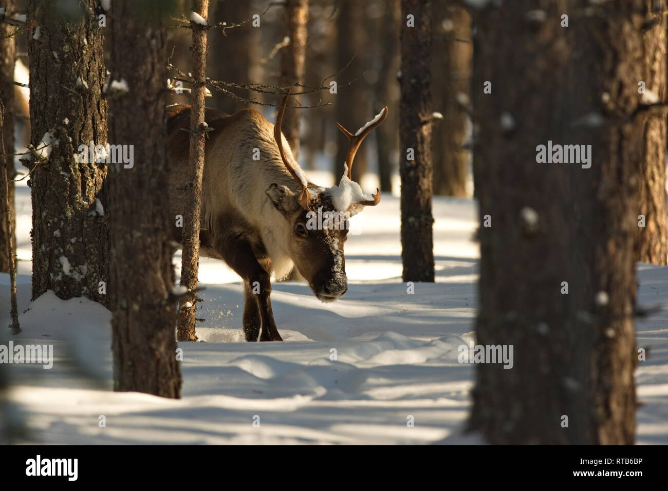 Reindeer (Rangifer tarandus) in a snowy winter forest Stock Photo
