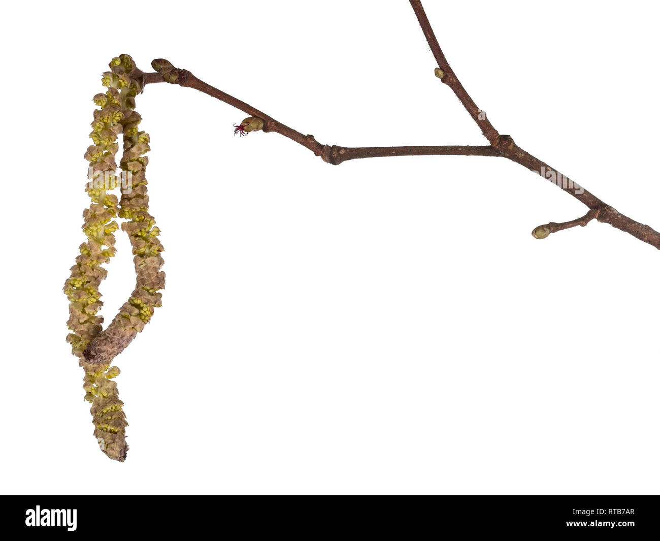 Common hazel tree twig with male and female catkins isolated on white background. Corylus avellana, monoecious plant. - Stock Image