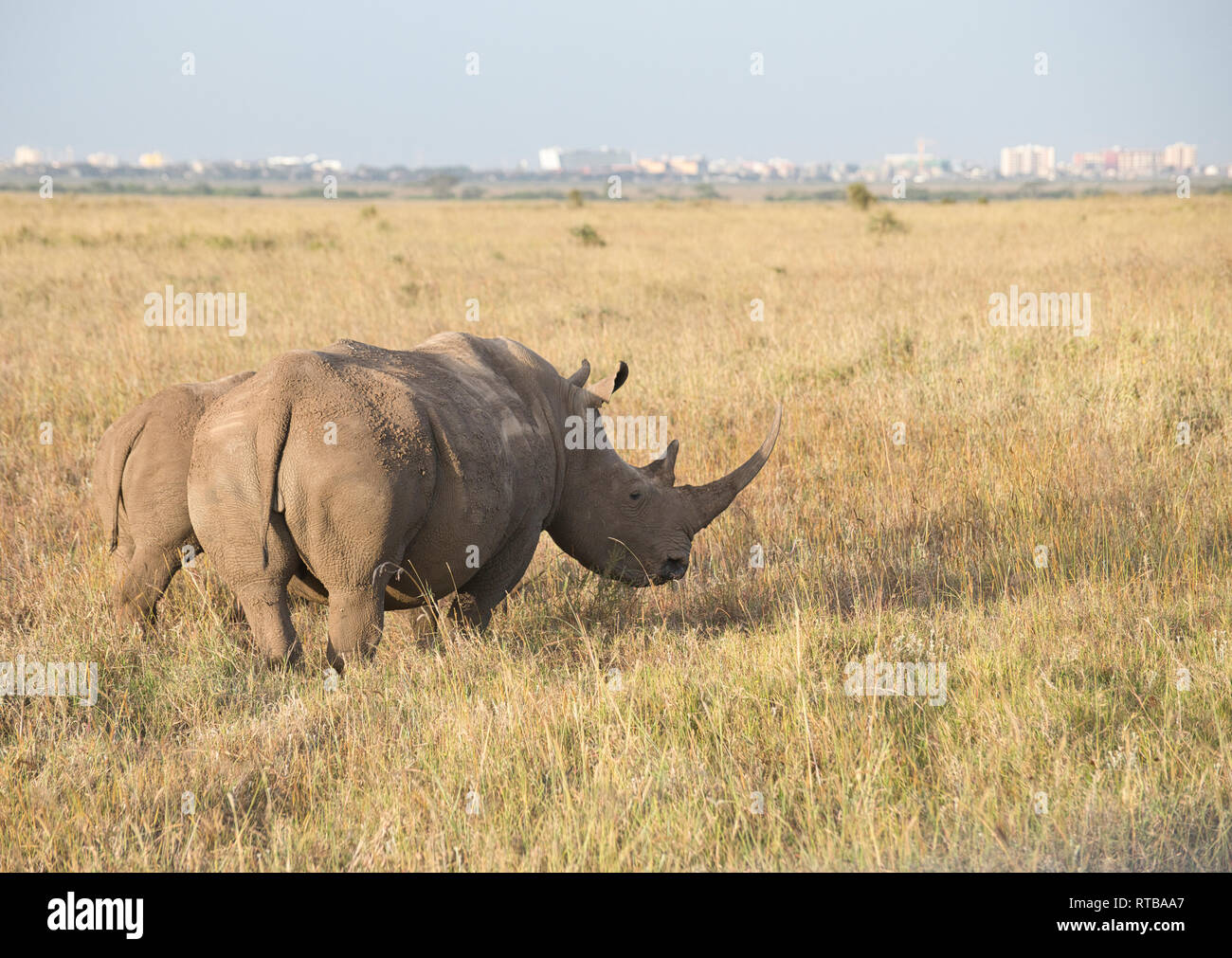White or grass rhinoceros (Ceratotherium simum), mother and calf with Nairobi city centre in the background. Stock Photo