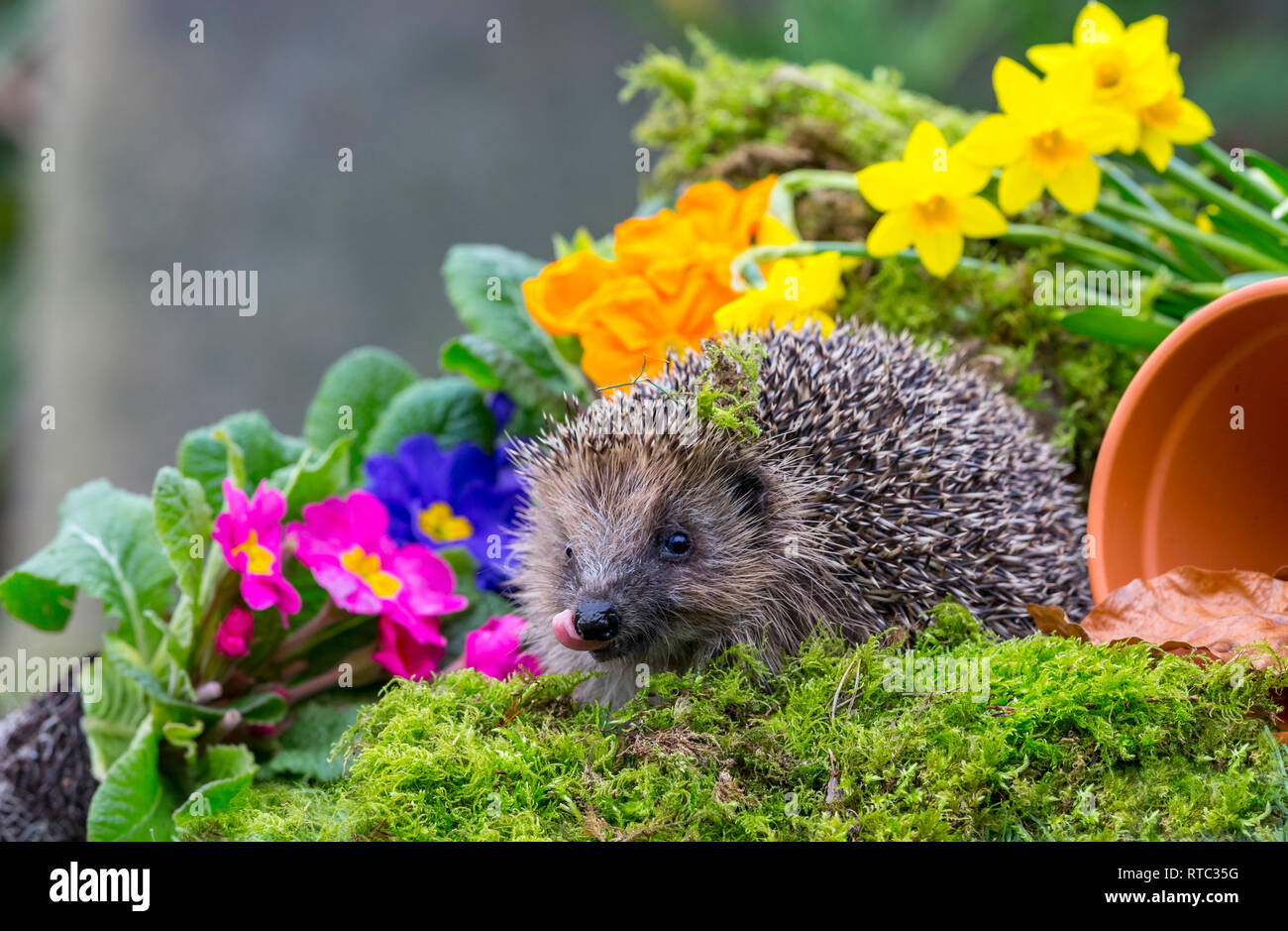 Hedgehog, (Erinaceus Europaeus) facing forward in natural garden habitat with colourful spring flowers, green moss and a plant pot. Landscape - Stock Image
