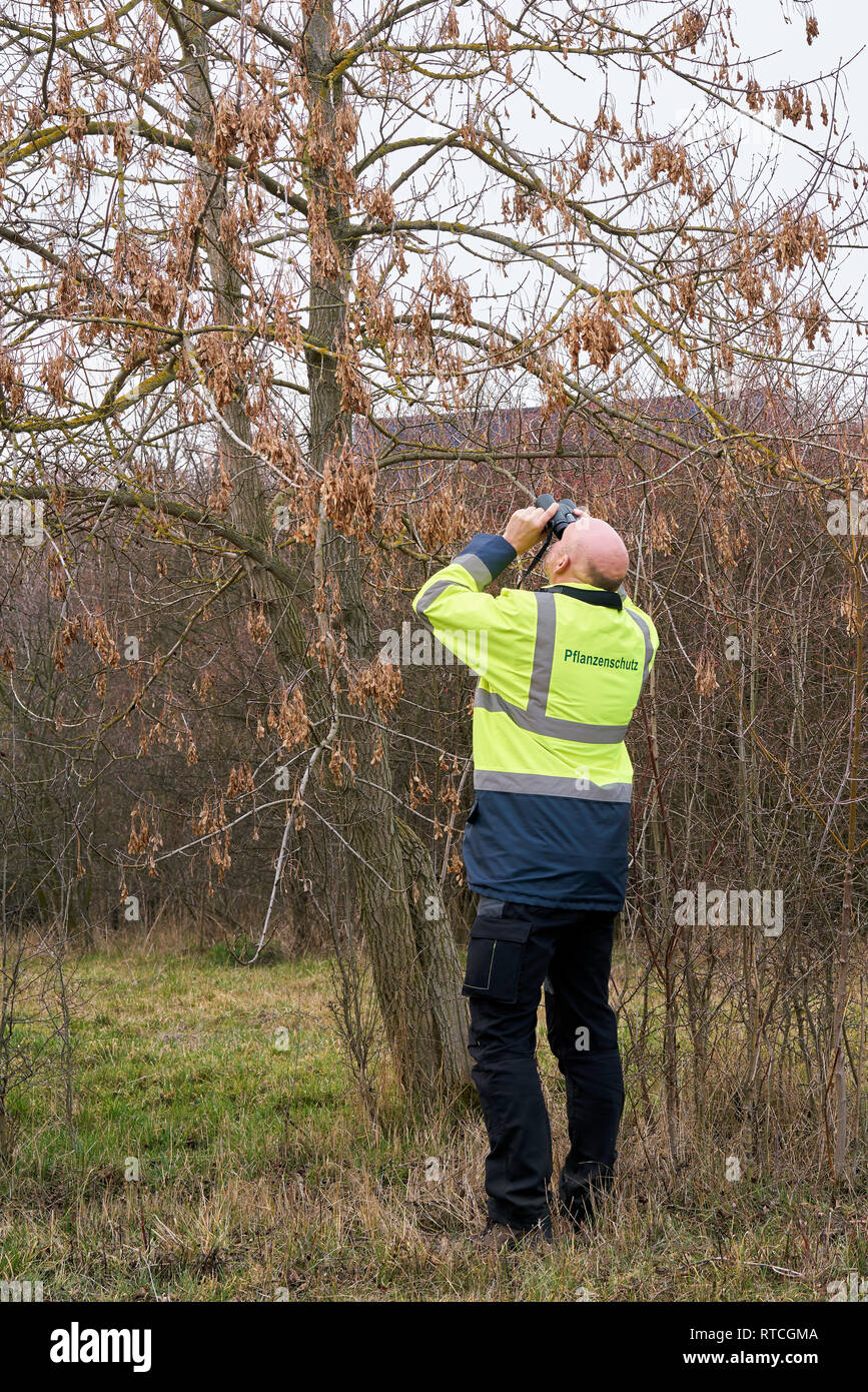 Expert during the examination of trees for a possible pest infestation by the Asian longhorned beetle in Magdeburg - Stock Image