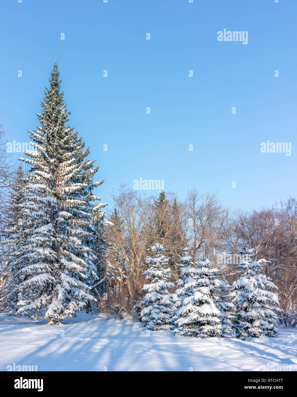 High green spruces in the winter park covered with fresh white snow. Copy space background - Stock Image