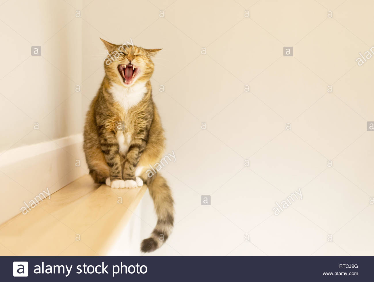 A tabby cat sat on a small shelf yawning - Stock Image