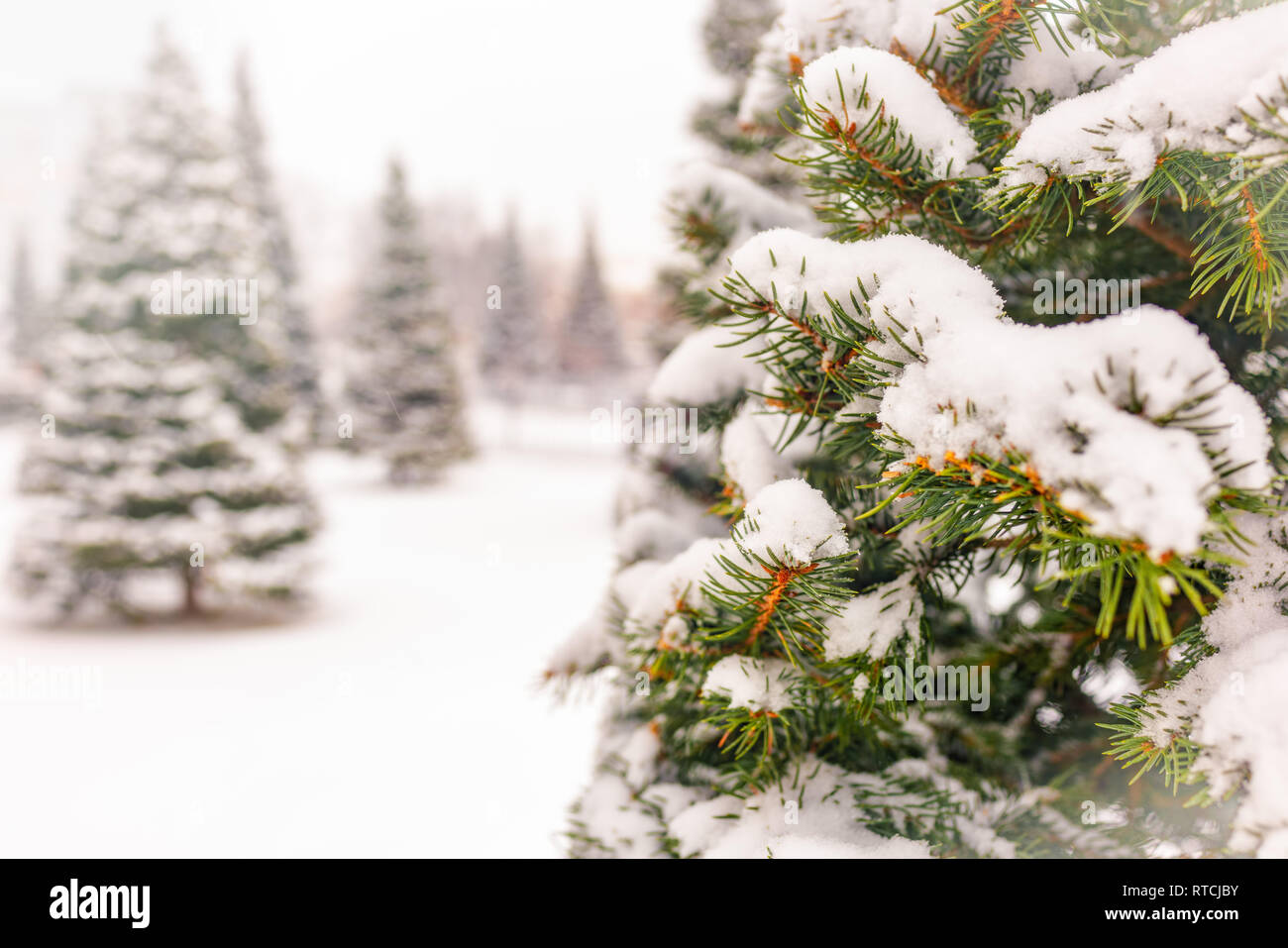 Young green spruces in the winter park covered with fresh white snow. Copy space background - Stock Image