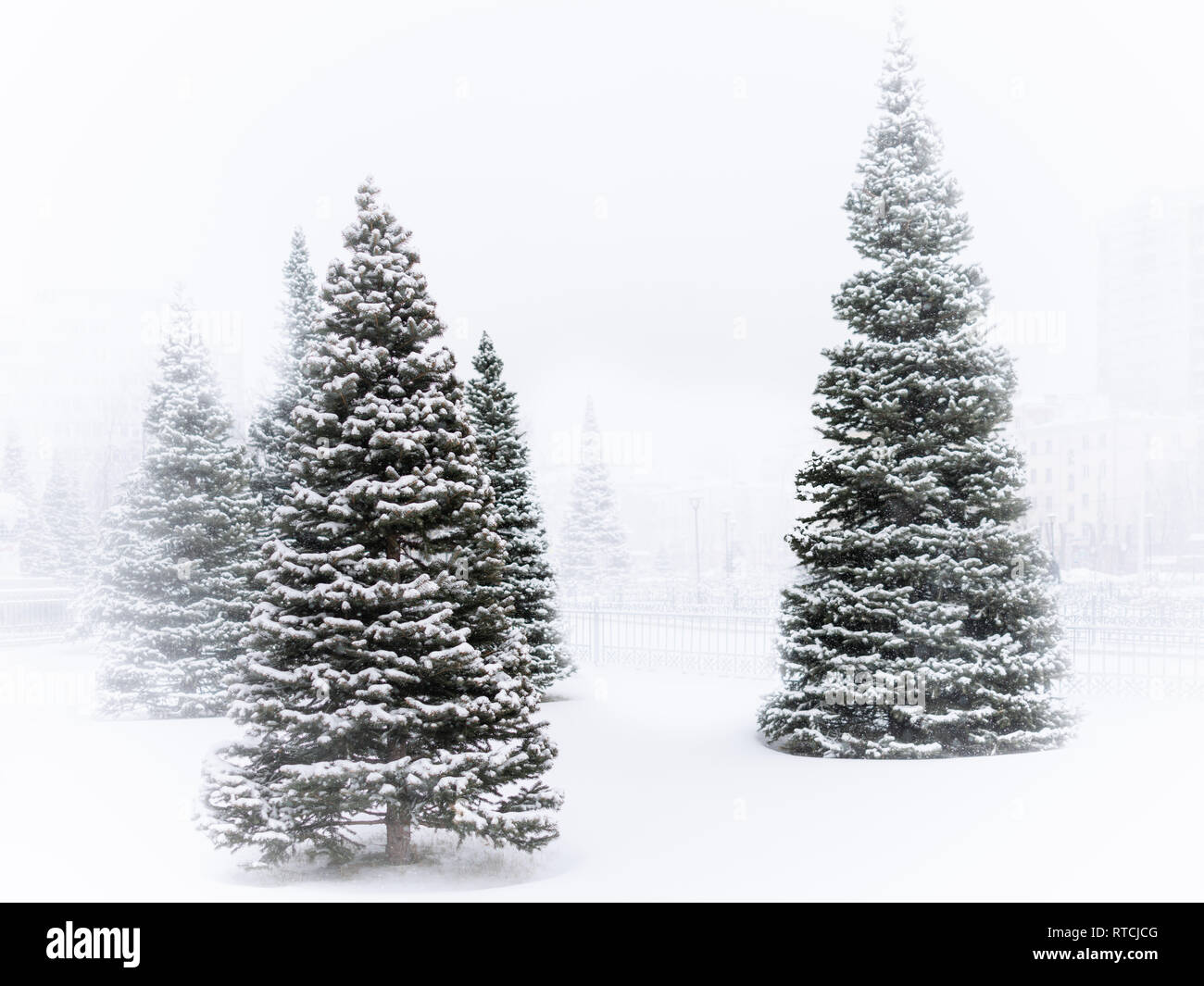 Young green spruces in the winter park are covered with fresh white snow during a snowfall.. Copy space background - Stock Image