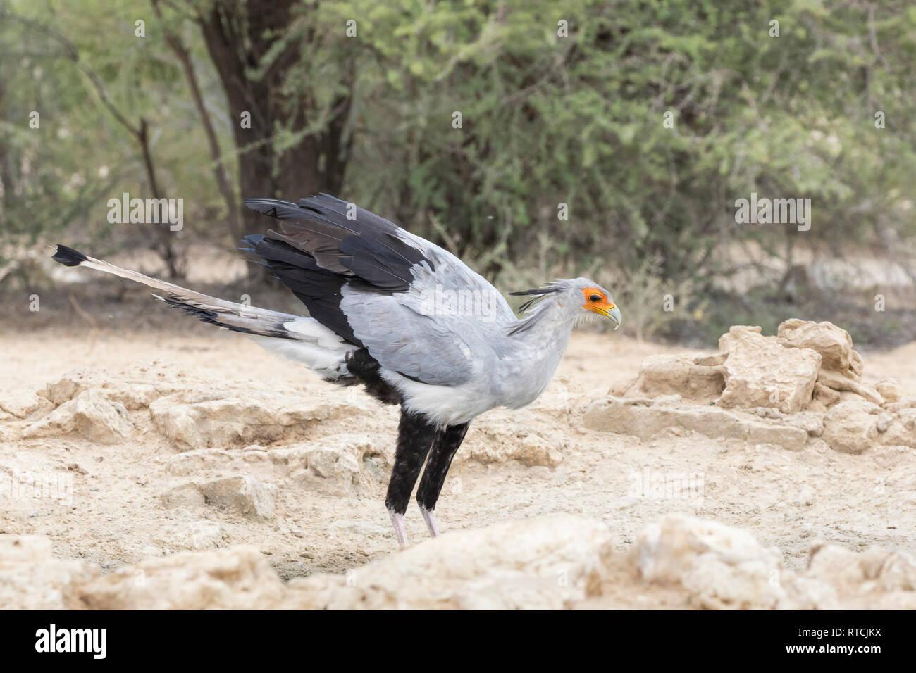Secretary bird, Sagittarius serpentarius, in a waterhole near Nossob, Kgalagadi Transfrontier Park, Kalahari, Northern Cape, South Africa. Side view Stock Photo