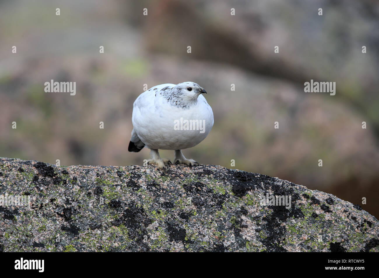 The rock ptarmigan is a medium-sized gamebird in the grouse family. It is known simply as the ptarmigan in the UK and in Canada - Stock Image