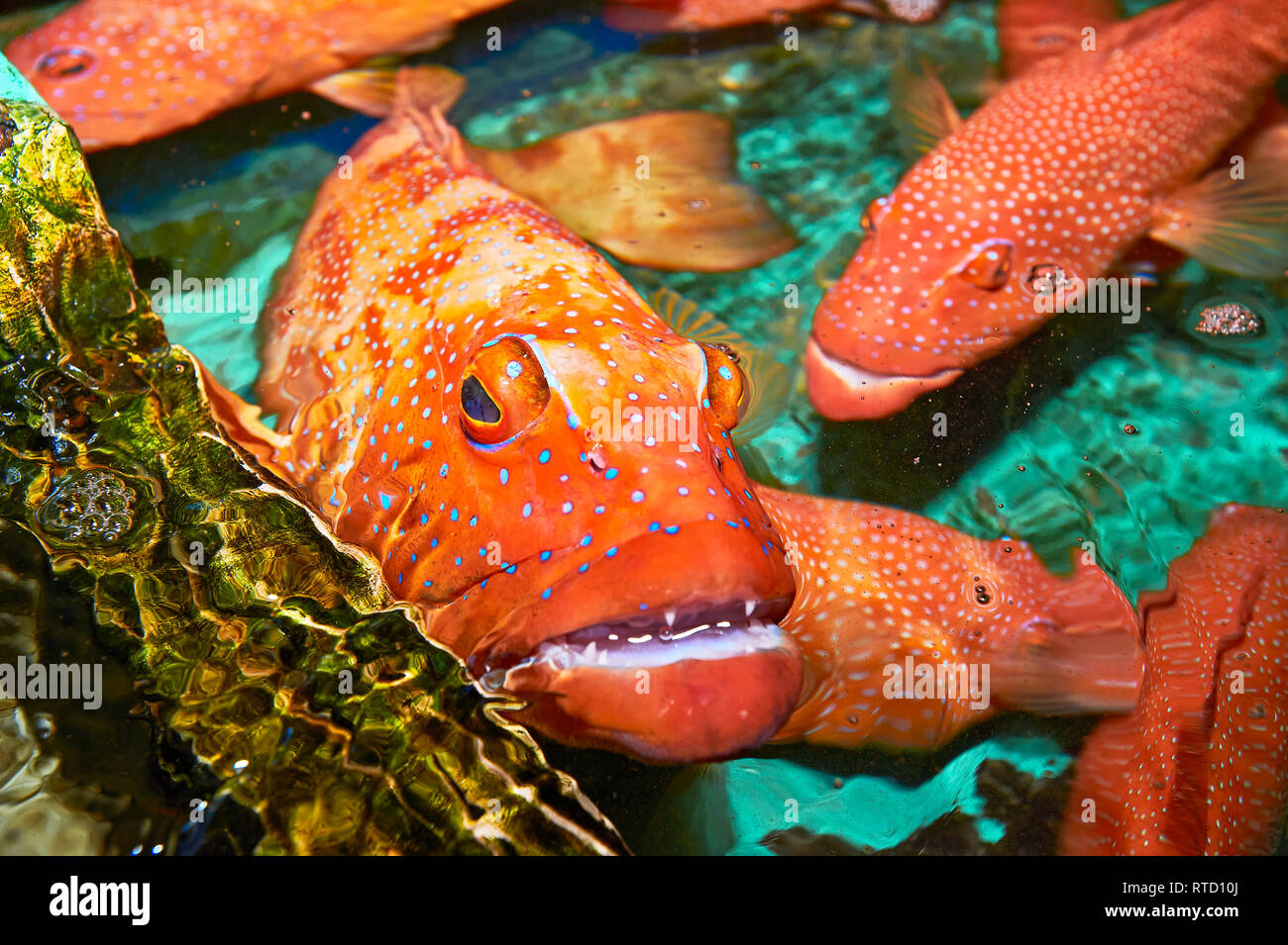 Red Snapper fish (Lapu-Lapu) caught around Cuyo island, Palawan, Philippines, transported to Manila, to be sold expensive as live fish to restaurants Stock Photo