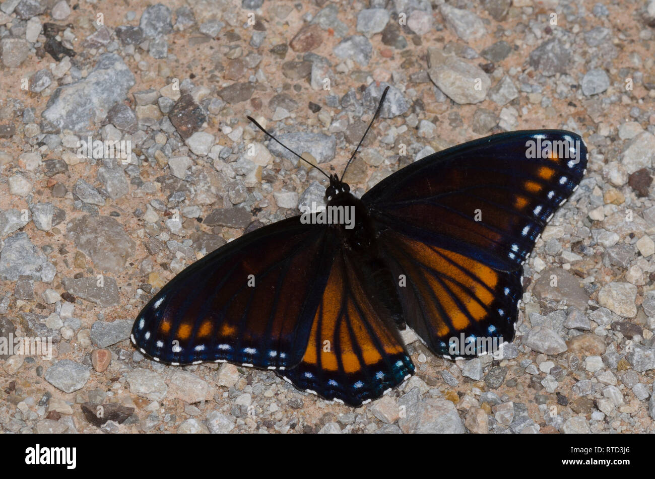 Viceroy and Red-spotted Purple, Limenitis archippus archippus X Limenitis arthemis astyanax, hybrid form Rubidus - Stock Image