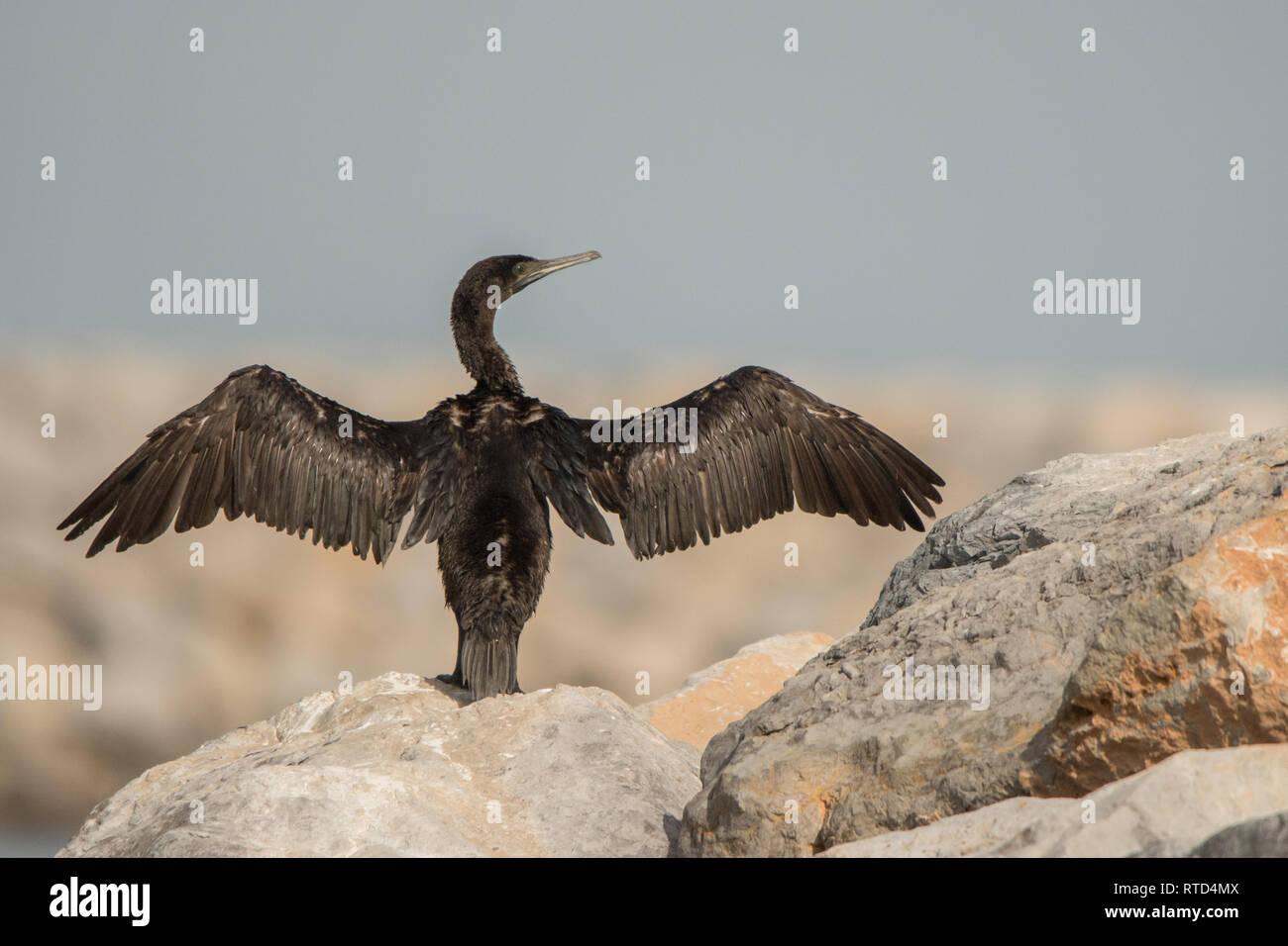 Socotra cormorant (Phalacrocorax nigrogularis). Port of Khasab. Musandam. Oman - Stock Image