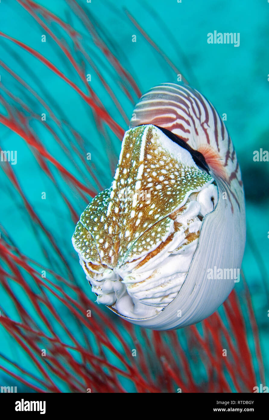 Chambered Nautilus, Nautilus pompilius, swimming in front of red sea fans. Also lnown as a Pearly Nautilus. Uepi, Solomon Islands - Stock Image
