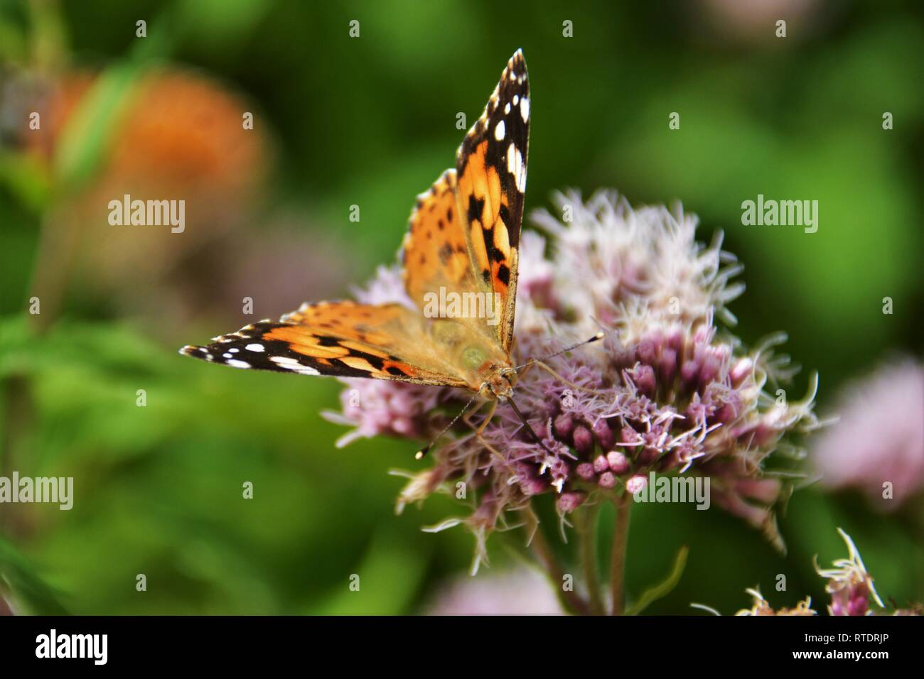 Painted Lady butterfly (Vanessa cardui) sipping nectar from a pink flower in Amalfi, Italy. - Stock Image