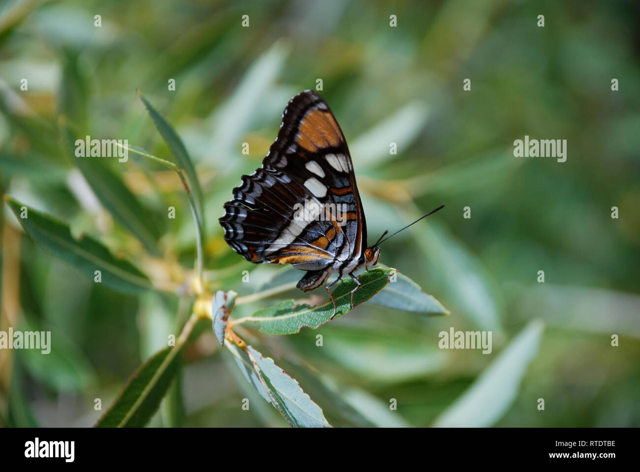 Nymphalid butterfly on greenery in Utah. - Stock Image