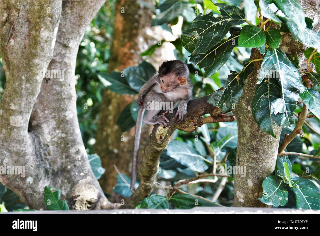 Juvenile Balinese long-tailed monkey in the Sacred Monkey Forest Sanctuary (Ubud Monkey Forest) in Bali, Indonesia. - Stock Image