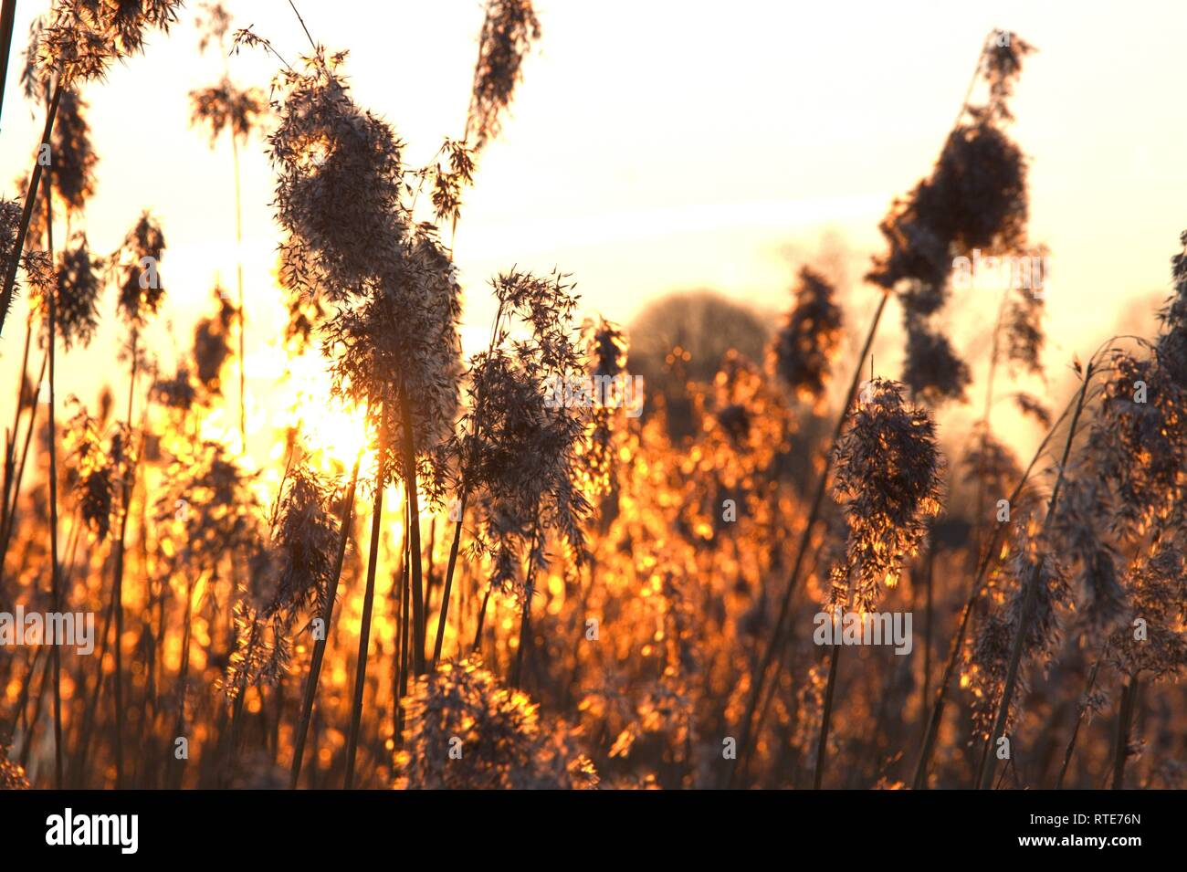27.02.2019, reeds (Phragwithes) with Ahrchen on a winter evening with a beautiful sunset on the Schlei in Schleswig. Monocotyledons, Commelinids, Order: Sussgrass-type (Poales), Family: Sussgraser (Poaceae), Subfamily: Arundinoideae, Genus: Reed-tubes | usage worldwide - Stock Image