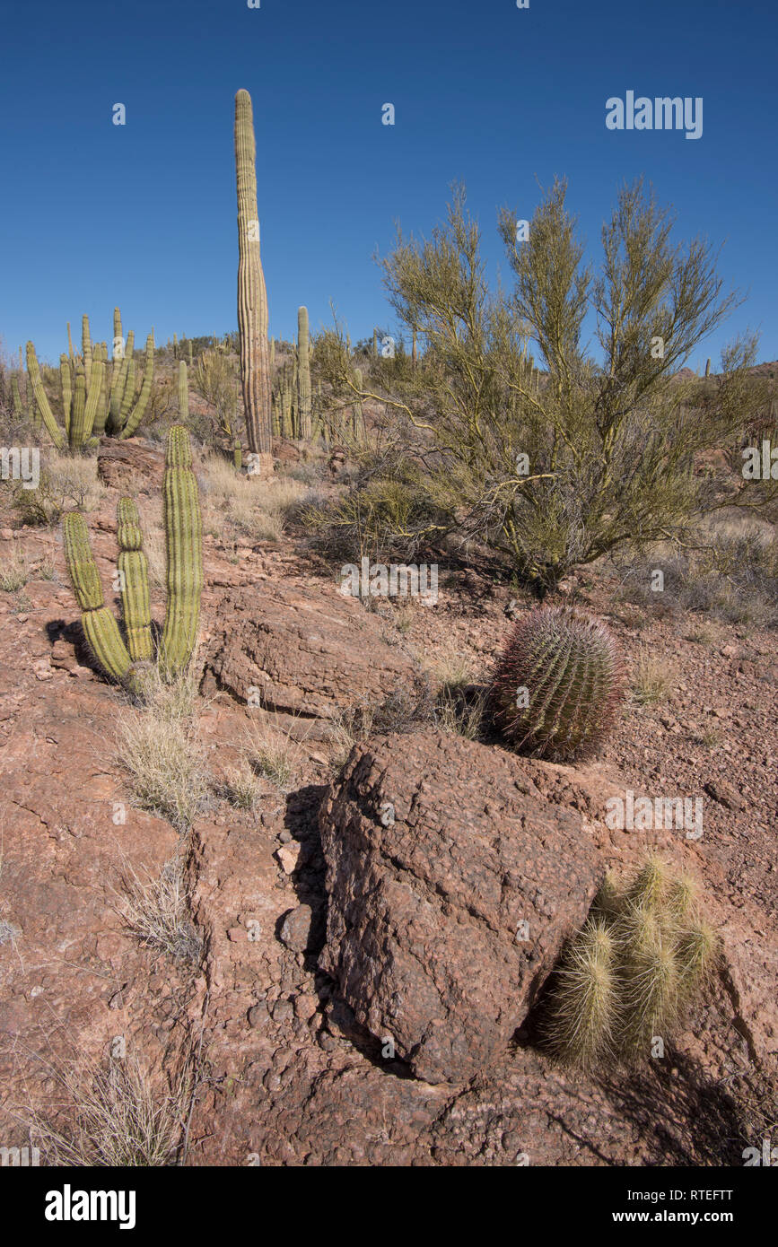 Scenic landscape with hedgehog cactus at Wildhorse Tanks, Ajo Mountain Loop road, Organ Pipe Cactus National Monument, South-central Arizona, USA - Stock Image