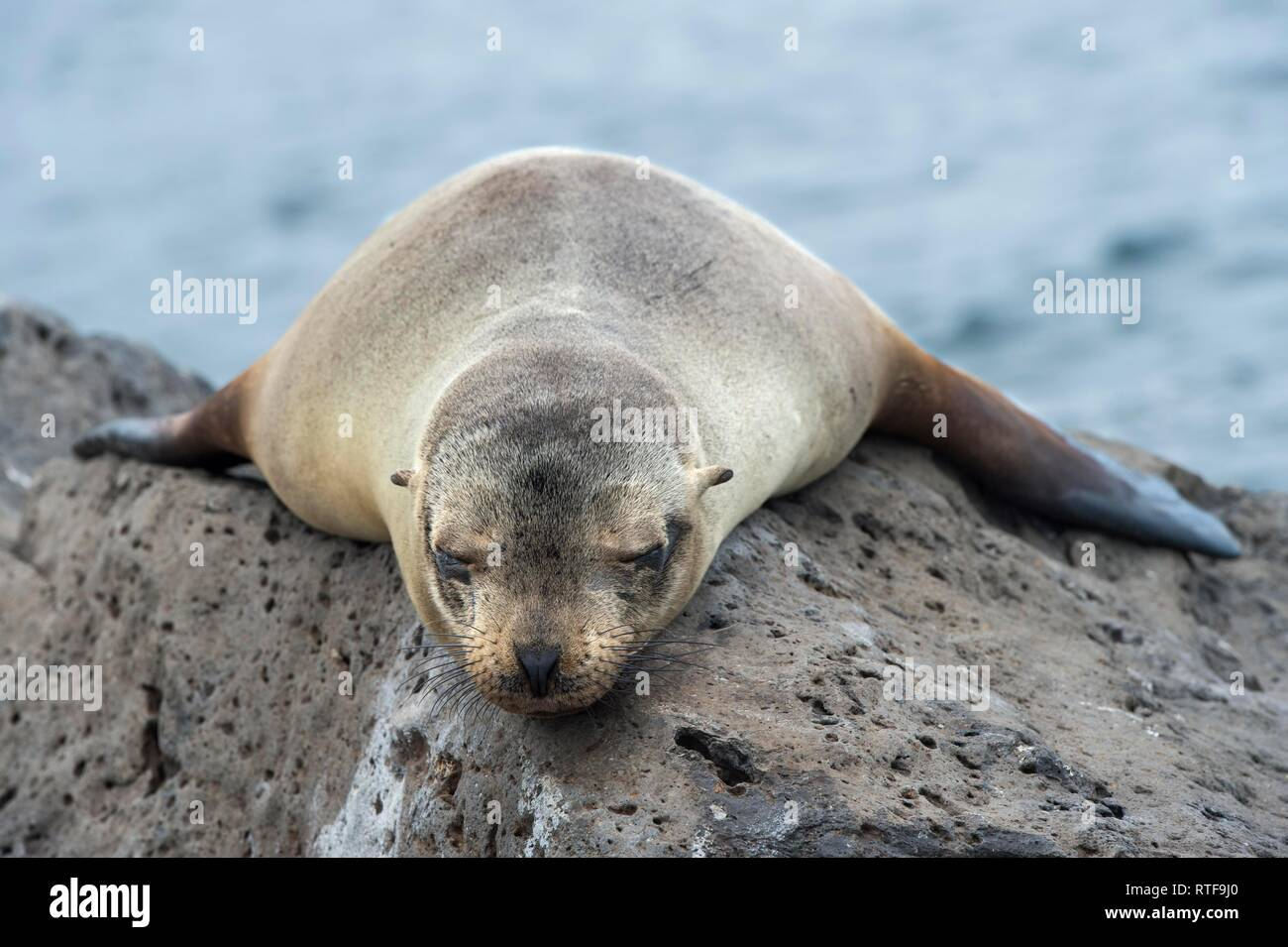 Galapagos sea lion (Zalophus wollebaeki), young animal sleeping on lava rocks, Floreana Island, Galapagos Islands, Ecuador - Stock Image