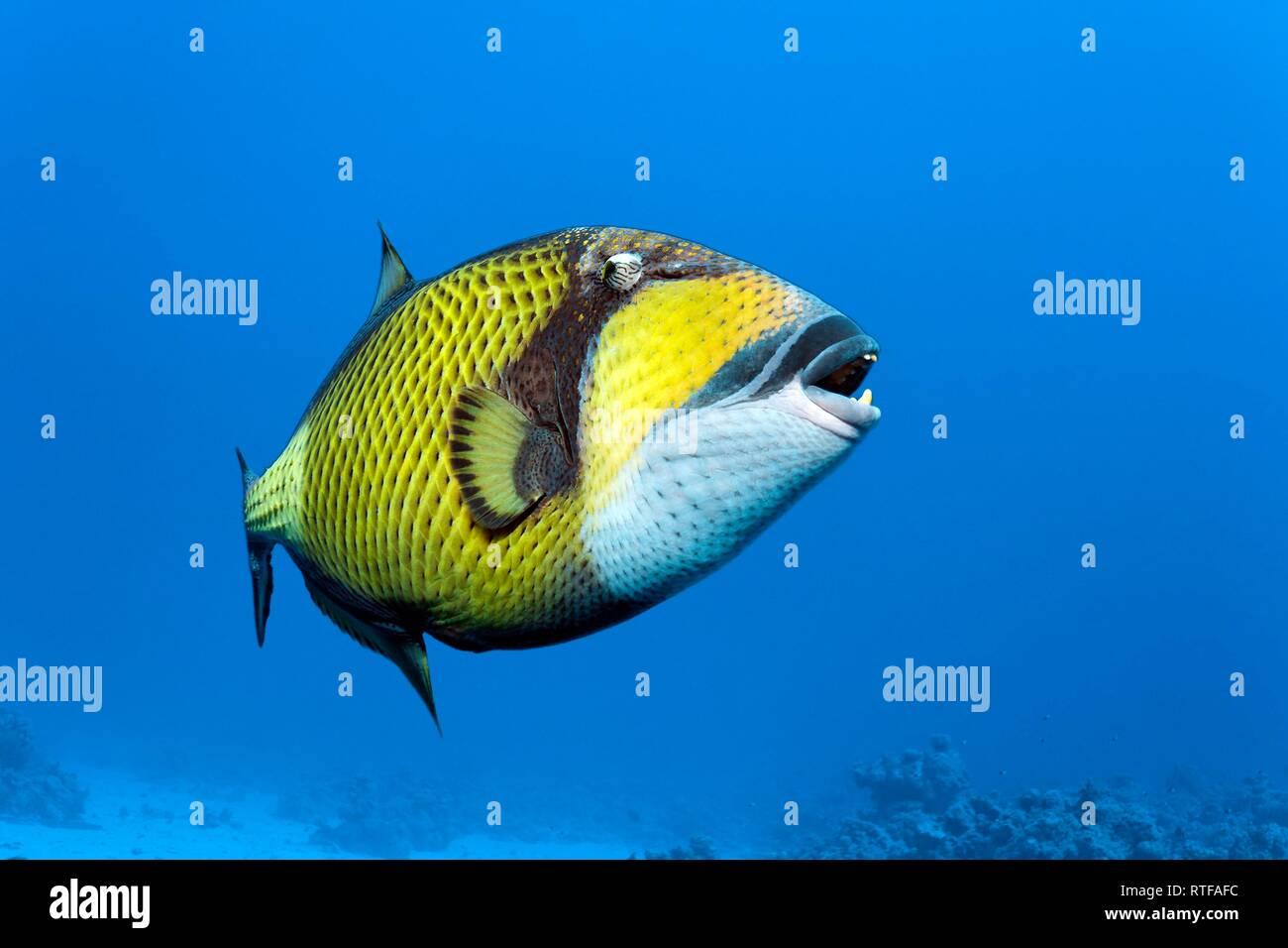 Titan triggerfish (Balistoides viridescens) swims in the open sea, Red Sea, Egypt - Stock Image
