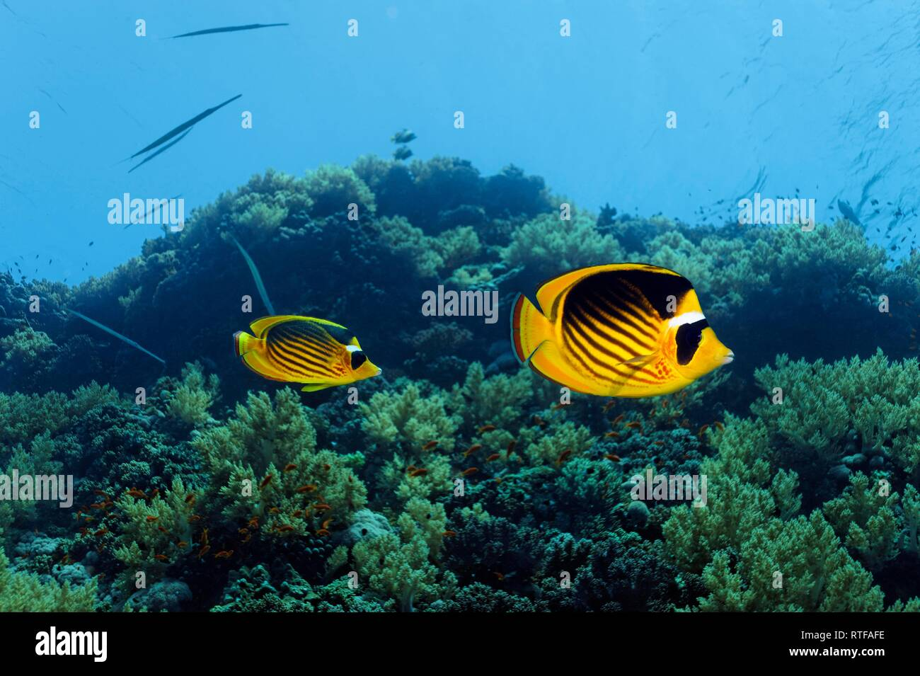 Diagonal Butterflyfish (Chaetodon fasciatus) swims over coral reef, Red Sea, Egypt - Stock Image
