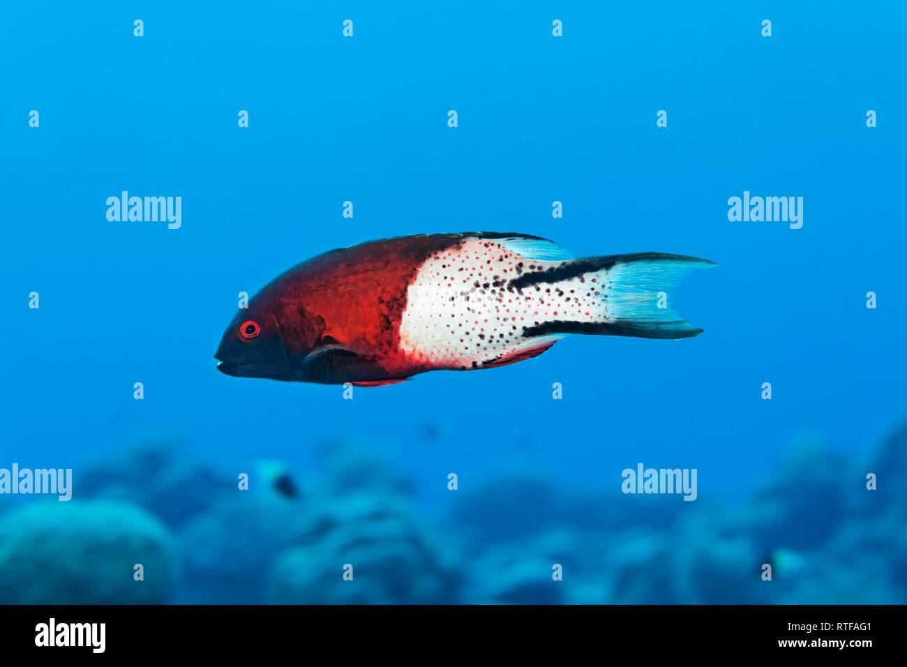 Lyre-tail hogfish (Bodianus anthioides) swims over coral reef, Red Sea, Egypt - Stock Image