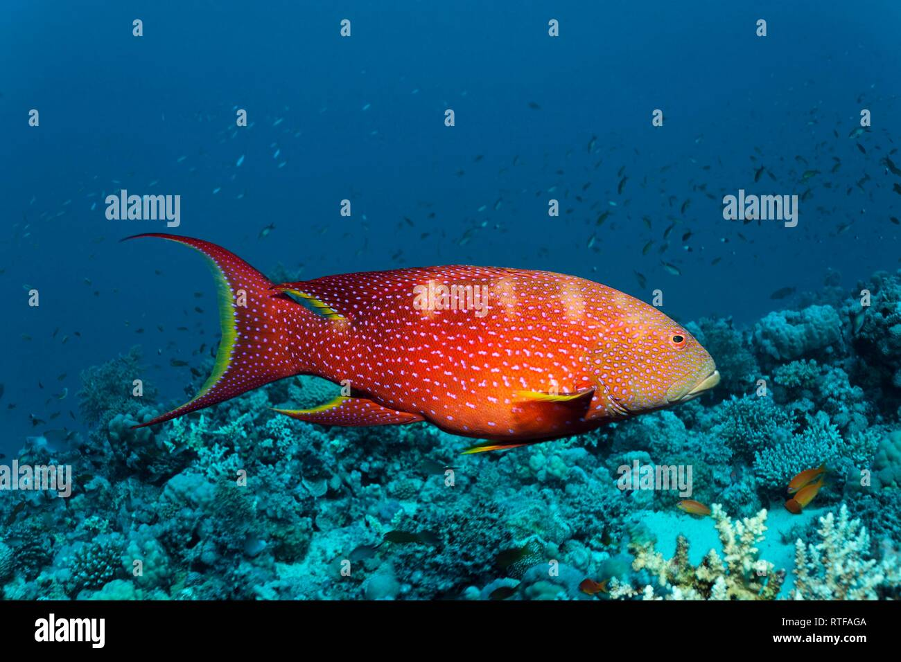 Yellow-edged lyretail (Variola louti) floats over coral reef, Red Sea, Egypt - Stock Image