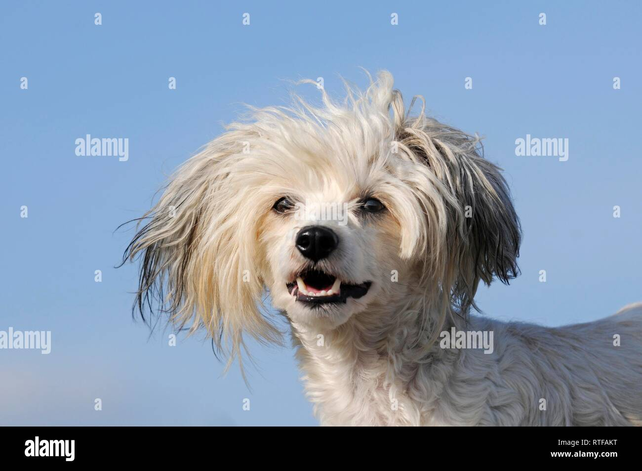 Chinese Crested Hairless Dog, animal portrait, Austria - Stock Image