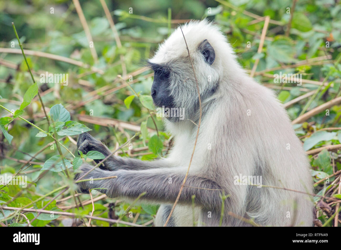 Hanuman or Grey or Gray or Common or Entellus Langur (Semnopithecus entellus). Portrait of an adult female, gathering green leaves to eat. - Stock Image