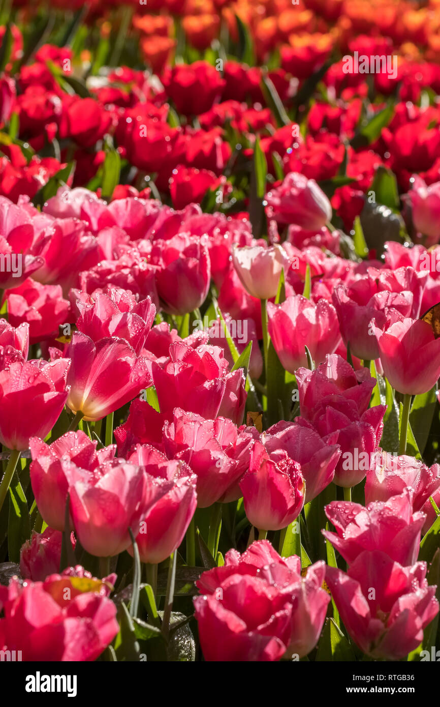 Beautiful varicolored tulips close-up in the garden - Stock Image