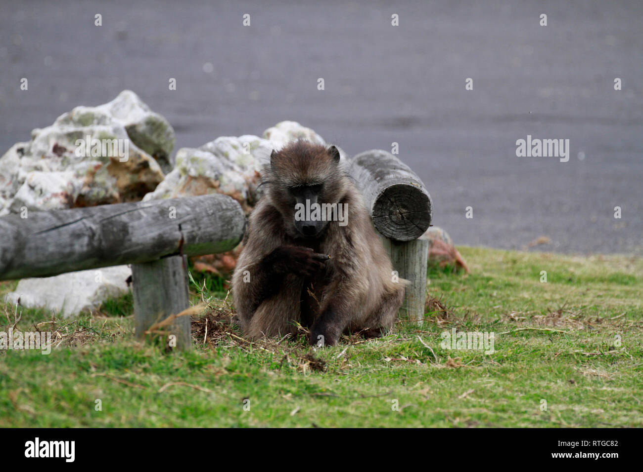 Achacma baboon (Papio ursinus) eating grass roots in the  Cape Of Good Hope Nature Reserve, Cape Town, South Africa. - Stock Image