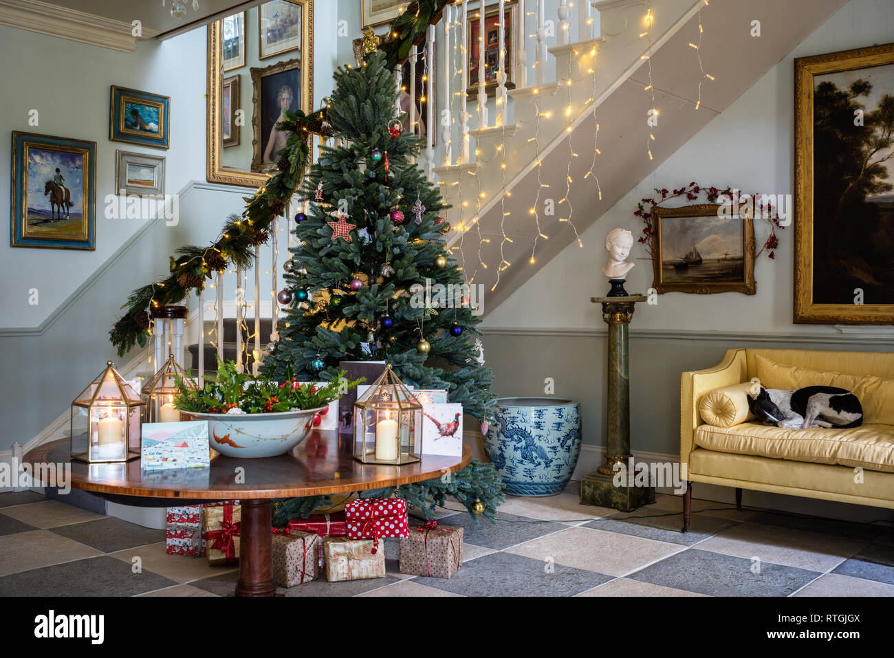 Whippet lies on yellow sofa in grand entrance hall with staircase built by Geraghty Joinery and artificial Royal Blue Spruce Christmas tree - Stock Image