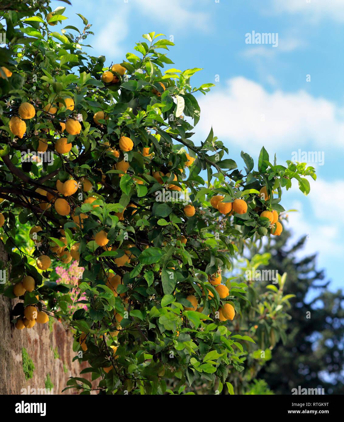 Lemon tree near abbey church, Sant Angelo in Formis, Campania, Italy Stock Photo