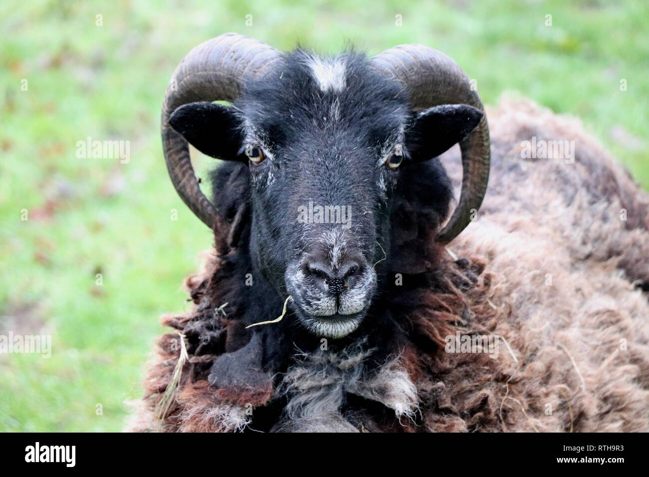 Horned Sheep - Stock Image