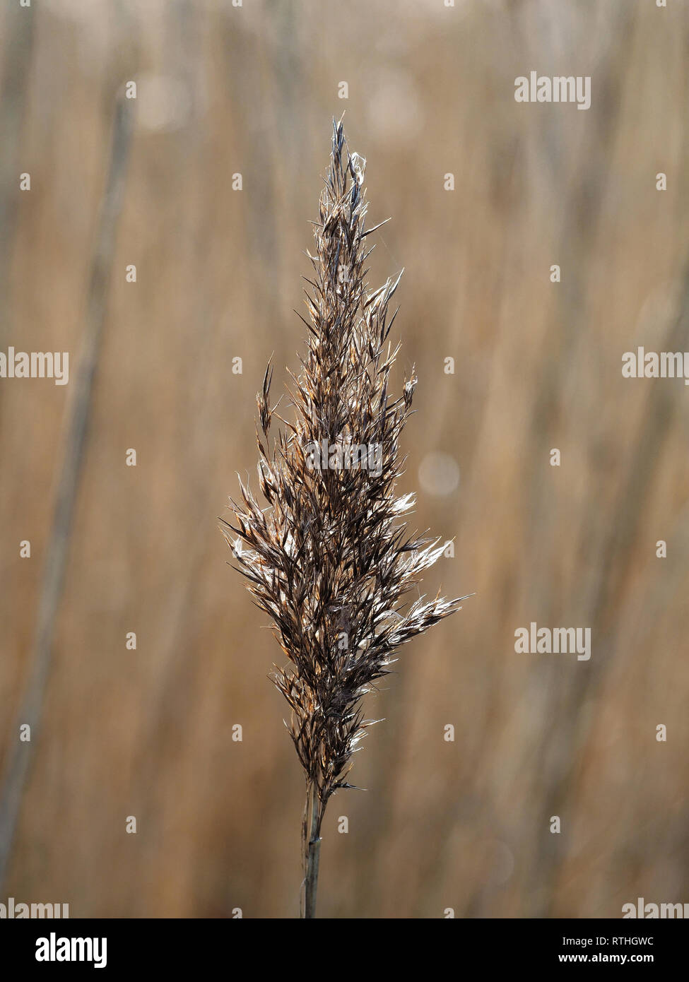 Reeds (Plant) grass-like plants, Wales, UK - Stock Image