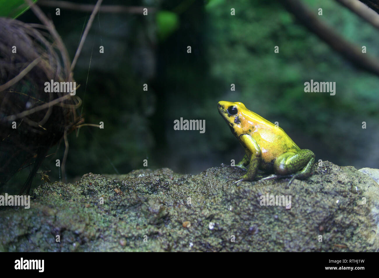 portret of yellow frog - Stock Image