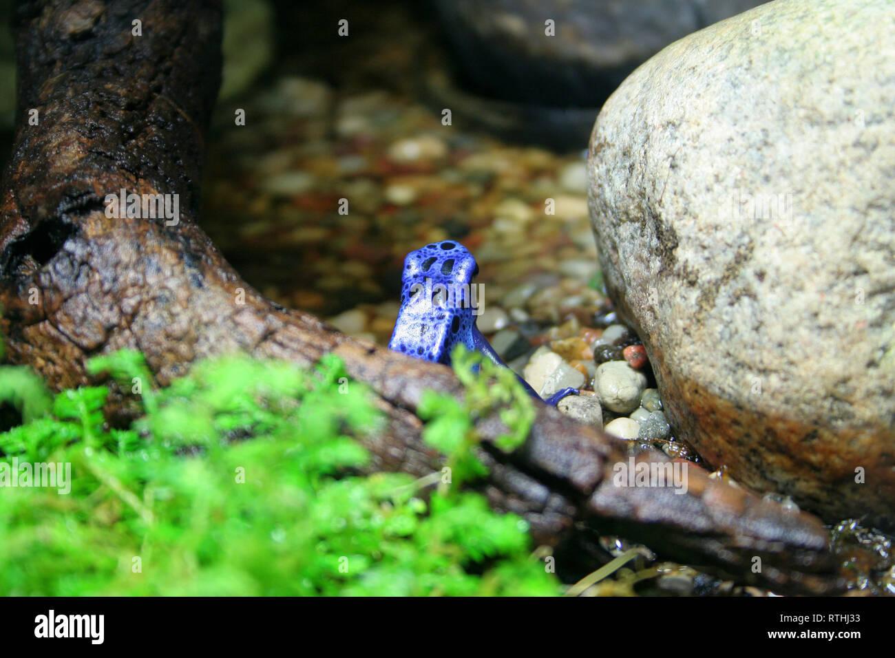 blue frog turned back - Stock Image