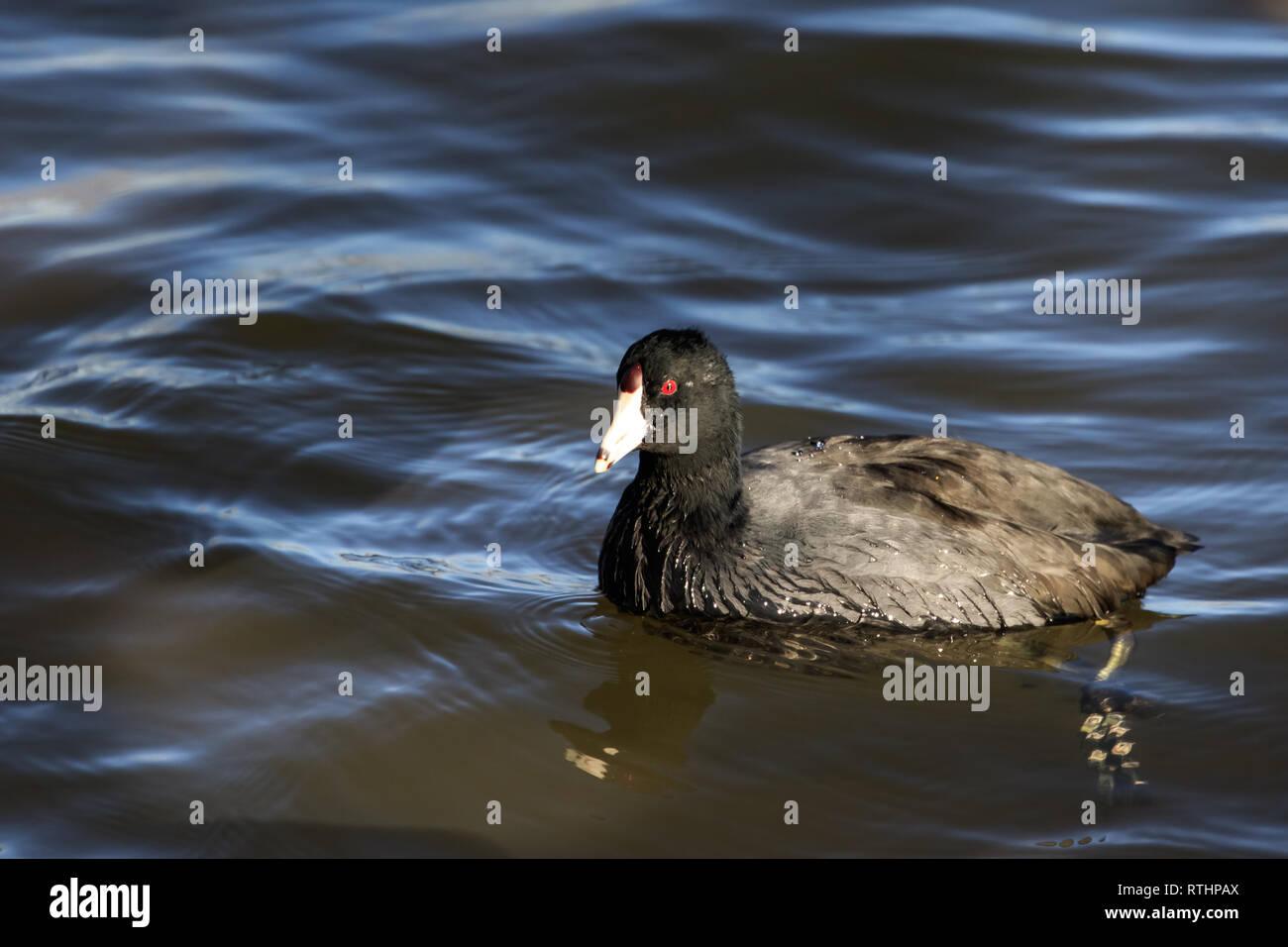 An American Coot (Fulica americana) swimming in a lake Stock Photo