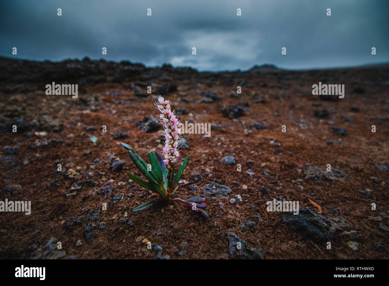 Pink plant growing on lava field in Iceland at summer season - Stock Image