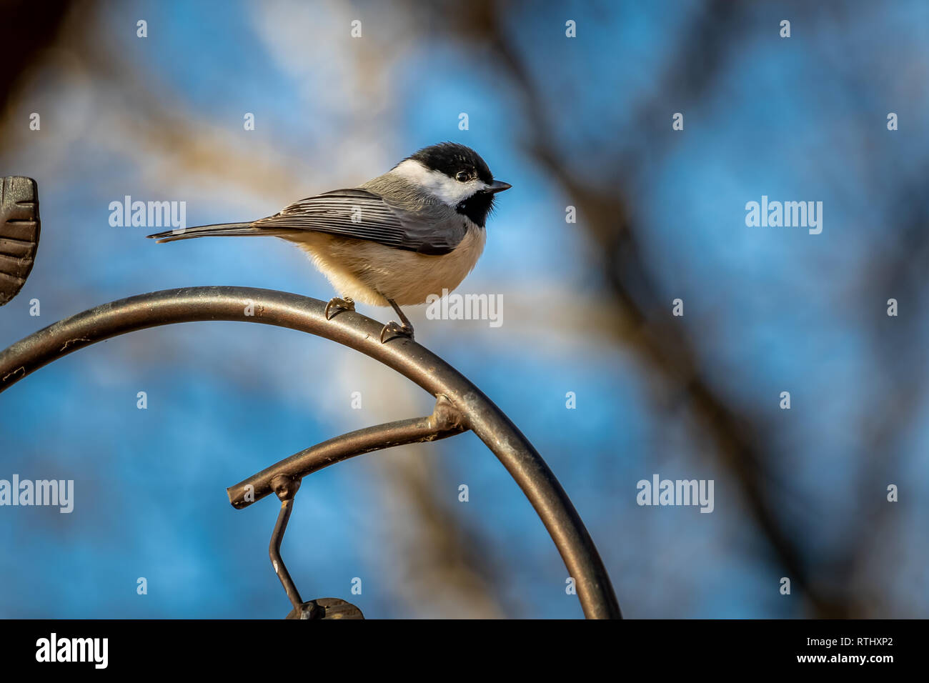 Carolina Chickadee (Poecile carolinensis) on a feeder - Stock Image