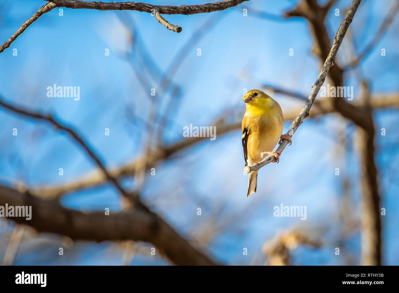 American Goldfinch (Spinus tristis) at a feeder. - Stock Image