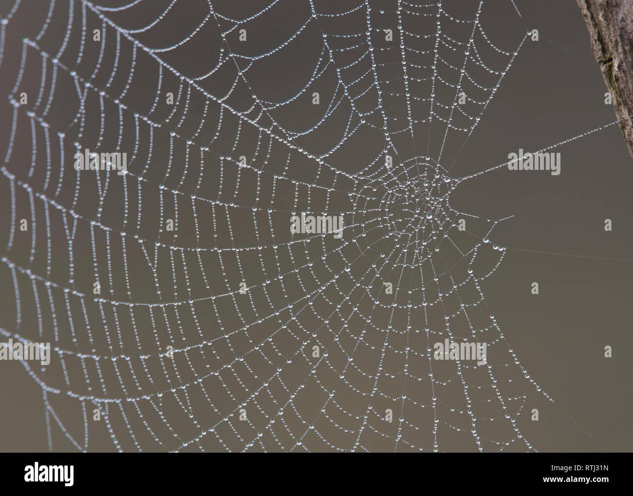 Cobweb with dewdrops - Stock Image