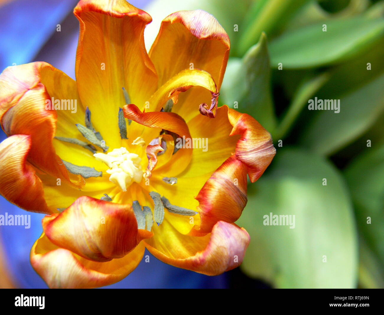 Close-up of an orange tulip-blossom Stock Photo