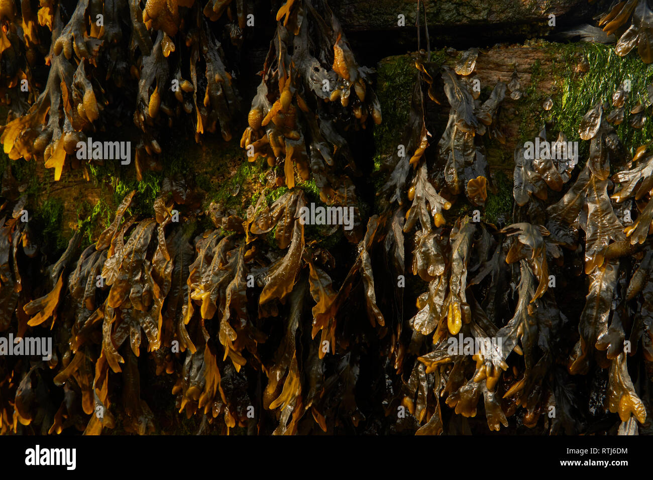 Seaweed on wooden groins at low tide on the Kent coast, England, United Kingdom, Europe - Stock Image