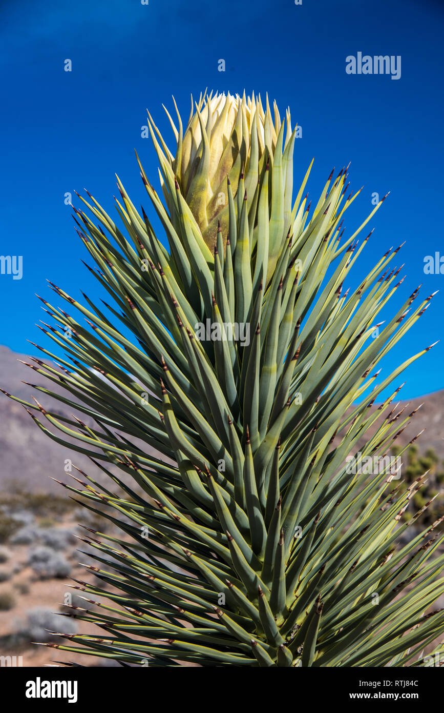 Joshua Trees in bloom and Cholla Cactus. Stock Photo