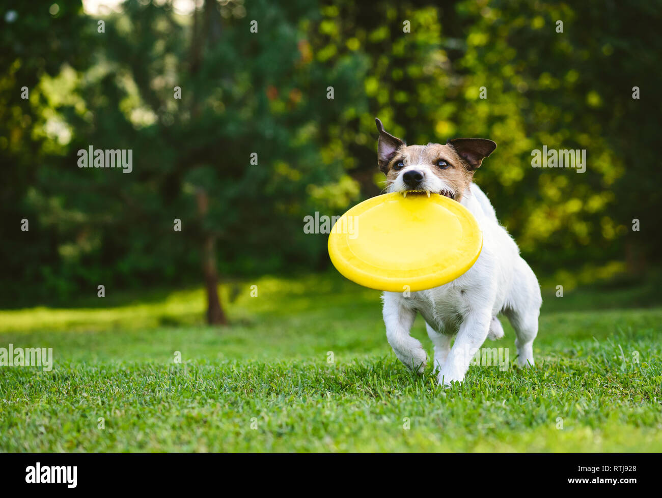 Adult dog playing catch and fetch with plastic disk outdoor - Stock Image