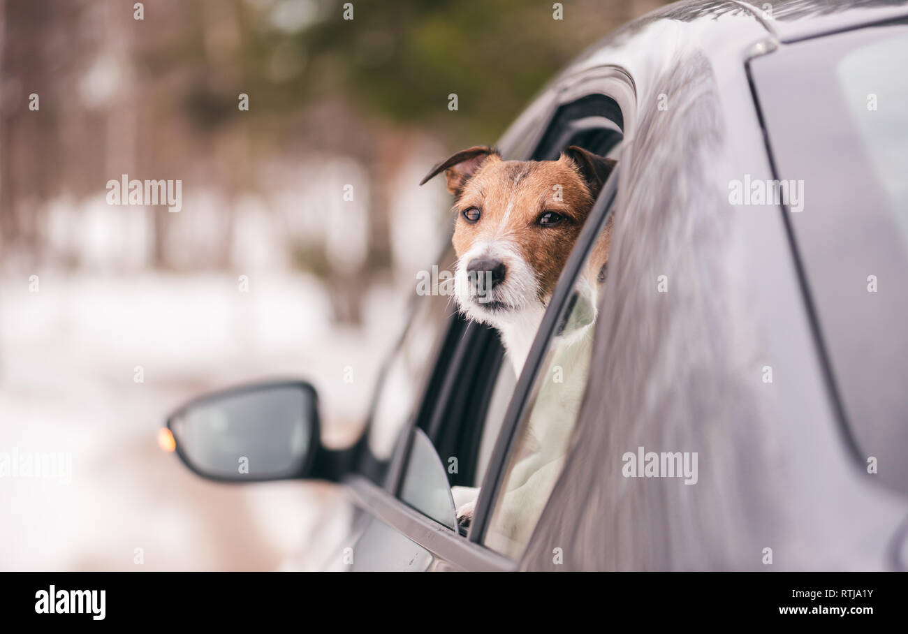 Sad dog looking from car window rides away by winter road - Stock Image