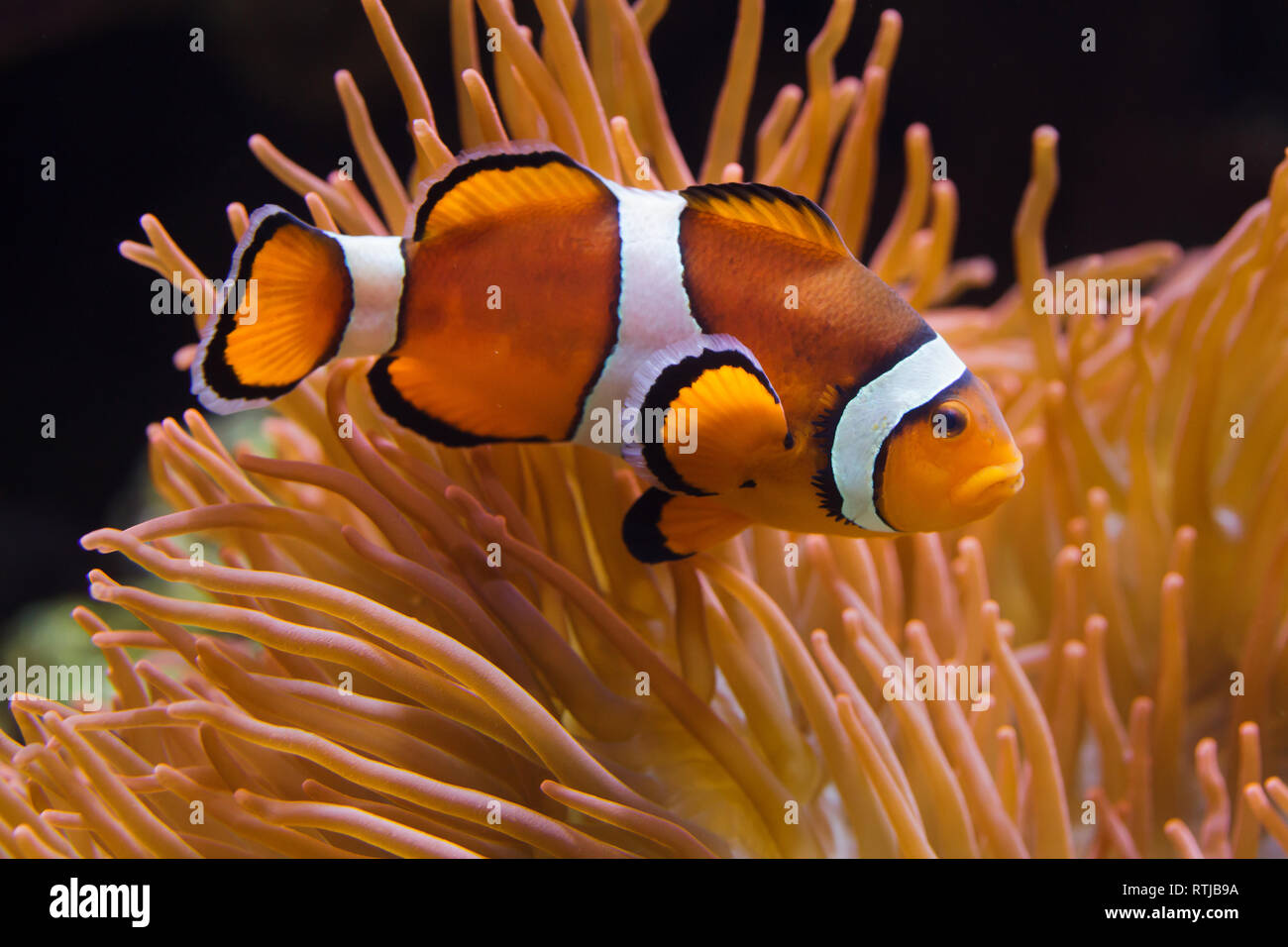 Ocellaris clownfish (Amphiprion ocellaris), also known as the false percula clownfish, swimming in the magnificent sea anemone (Heteractis magnifica). Stock Photo