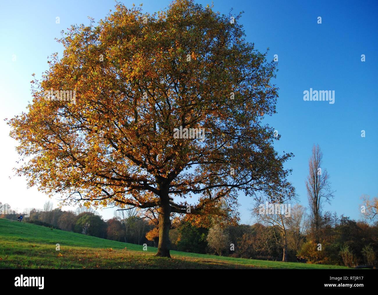 Autumn tree in Hampstead Heath - Stock Image