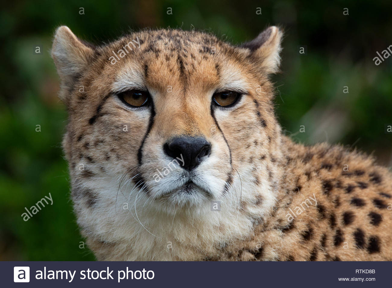 Cheetah DZP - Stock Image