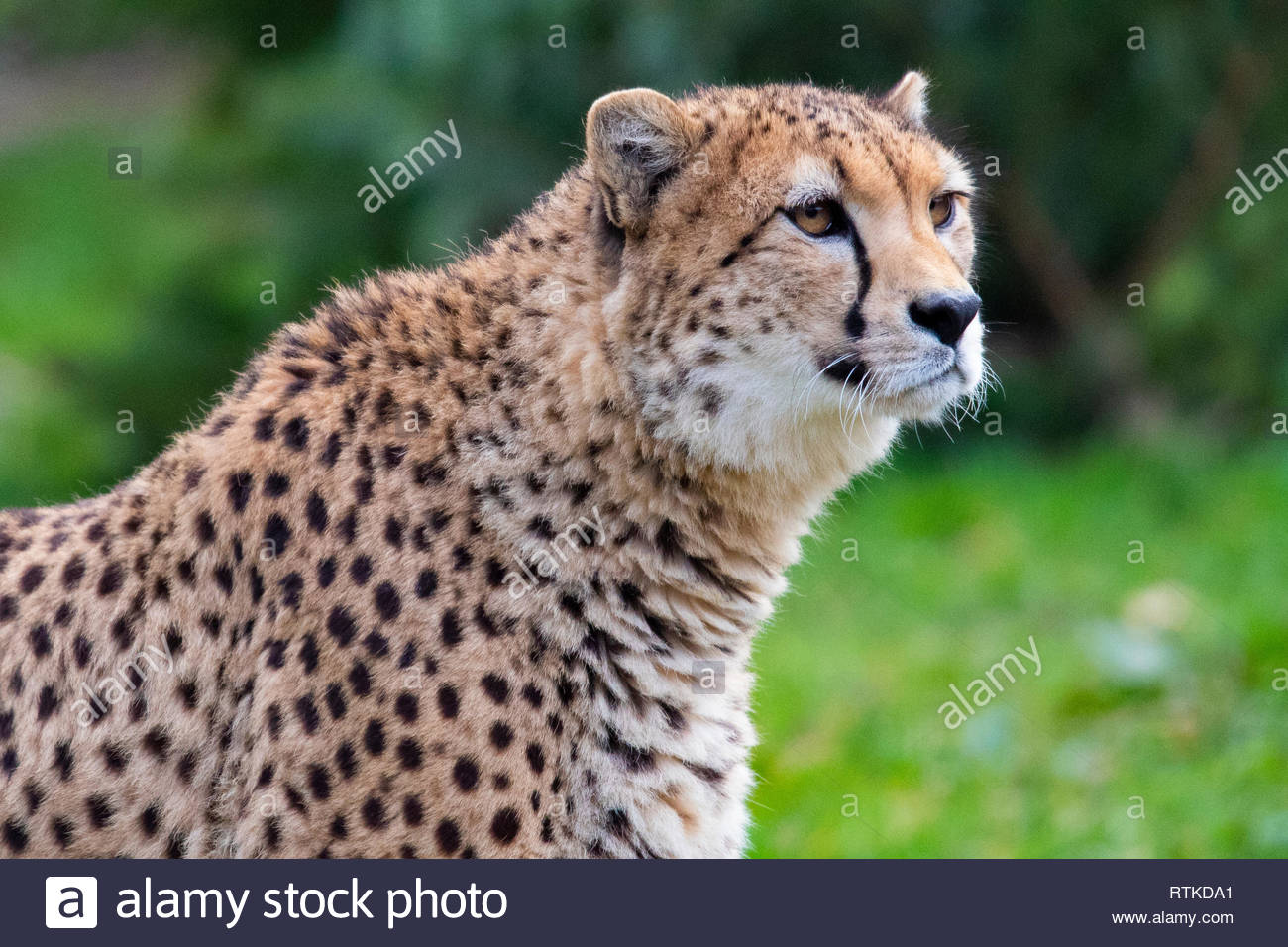 Cheetah (Dartmoor Zoological Park) - Stock Image
